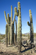 Kaktus in Arizona