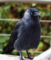 Close up of a Western Jackdaw
