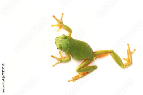 Poster Kikker Tree frog (Hyla arborea)