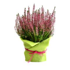 Heidekraut im Blumentopf dekoriert