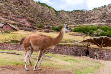 Peruvian  Llama. Farm of llama,alpaca,Vicuna in Peru