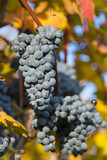 Nature background with Vineyard.Wine concept. low depth of focus