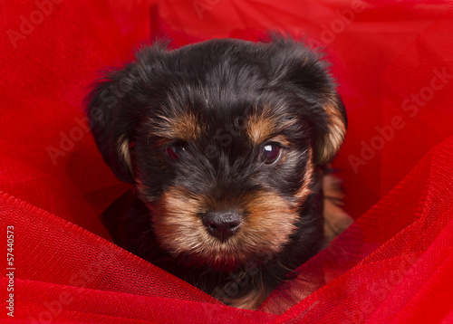 Puppy Yorkshire terrier close-up