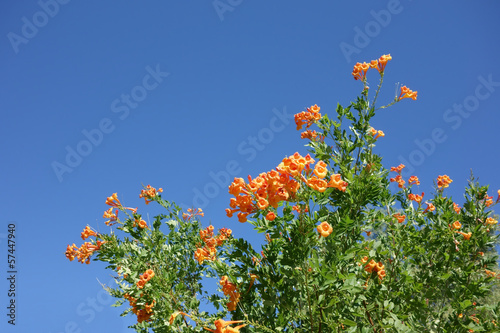 Cape Honeysuckle Shrub against Blue Sky