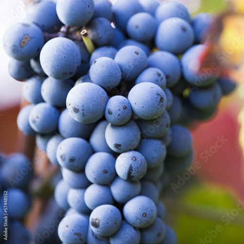 Wine grapes on a vine branch