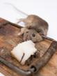 Постер, плакат: Мышь в мышеловке
