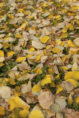 Linden leafst fallen on grean grass at autumn