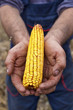 Holding corn maize ear