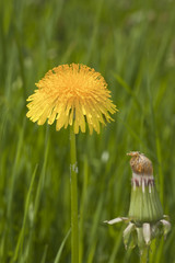 Blooming dandelion, and bud, Taraxacum officinale