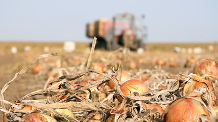 Onion on field after harvest, tractor in a background