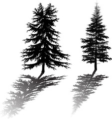 two fir silhouettes with reflection