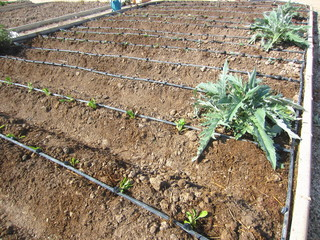 drip irrigation in allotment