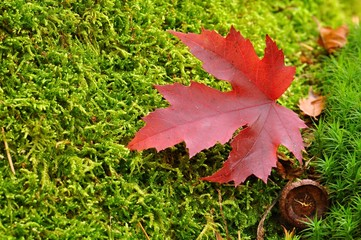Autumn leaf on moss