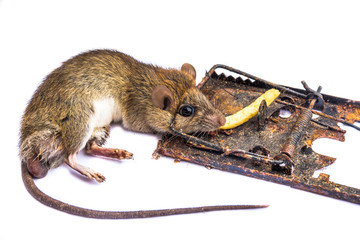 mouse in a mousetrap on a white background