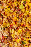 Colorful autumn leaves on a meadow