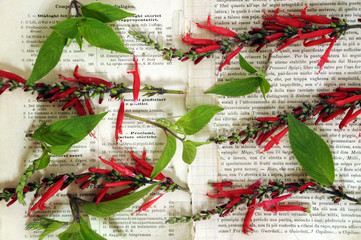 Salvia elegans Pineapple sage Salvia ananas