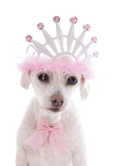 Pampered Princess Pet Dog