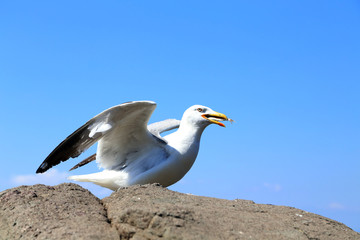 White seagull on rocks.
