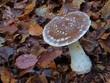 Schleiereule, Pilz