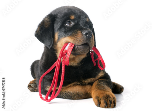 Papiers peints Porter rottweiler and leash