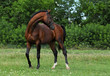 Warmblood stallion standing on pasturage