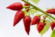Peperoncino rosso piccante
