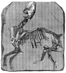 Fossil : Paleotherium - Eocene
