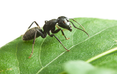 Black ant on green leaf
