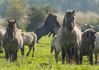 Wild Konik horses in a meadow at fall