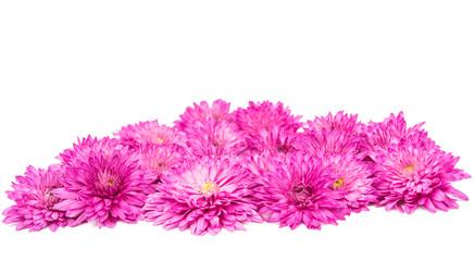 pink chrysanthemum isolated