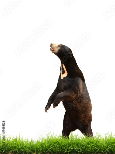 malayan sun bear with green grass isolated