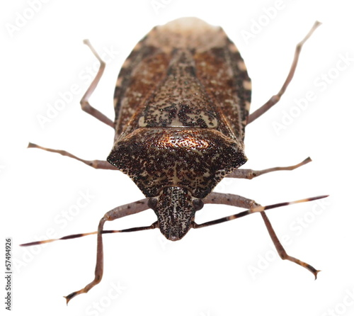 Brown Marmorated Stink Bug isolated on white (Halyomorpha halys)