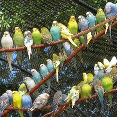 Parakeets in  Z
