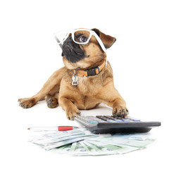 Dog Breed Small Brabant Accountant