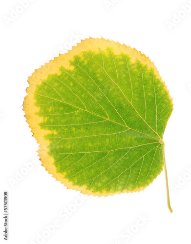 Autumn linden leaf isolated on a white background