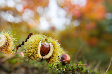 Chestnut in autumn forest