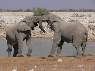Elephants playing, Namibia