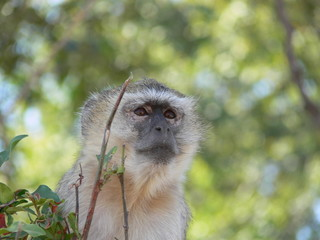 Curious monkey in Africa