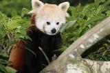 Red panda, Panda roux de Chine