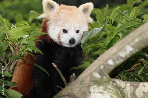 In de dag Panda Red panda, Panda roux de Chine