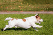 Jack Russell Terrier running on the autumn meadow