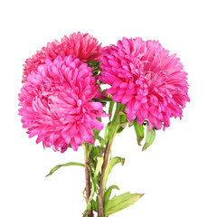 Bright aster flowers, isolated on white