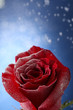 Red rose in snow  on blue background