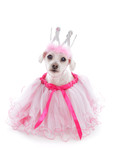 Pampered Pooch in pretty tulle dress poster