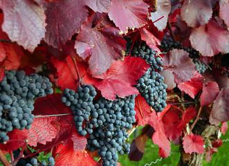 Rote Weintrauben mit Weinlaub
