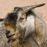 Goat portrait, India