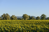 "sunflowers fields in the ""holy valley"" #01, Rieti"