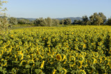 "sunflowers fields in the ""holy valley"" #02, Rieti"