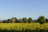 "sunflowers fields in the ""holy valley"" #03, Rieti"