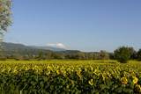 "sunflowers fields in the ""holy valley"" #04, Rieti"